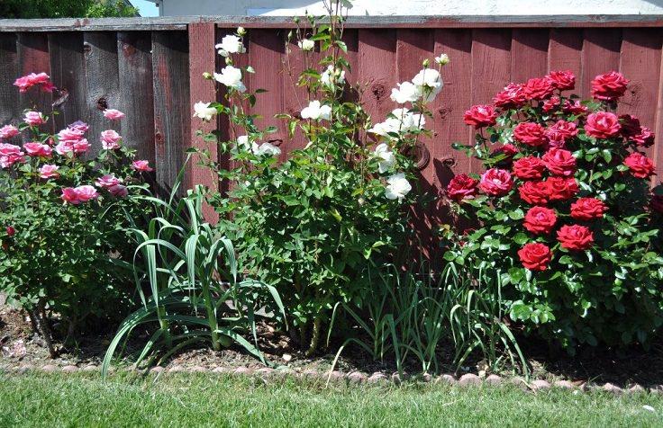 Garlic garden pest spray garden ftempo - Suburban chrysler garden city mi ...
