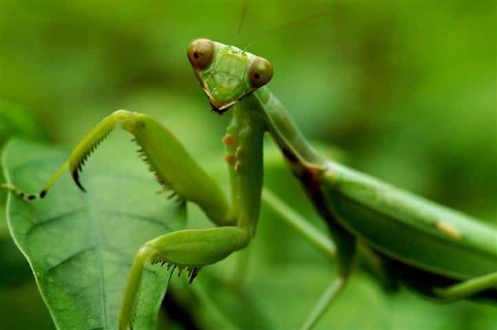 Charming You Are Lucky To Have A Praying Mantis In Your Garden. Do Not Be Fooled By  Its Unusual And Refined Appearance; Praying Mantis Is A Predator.