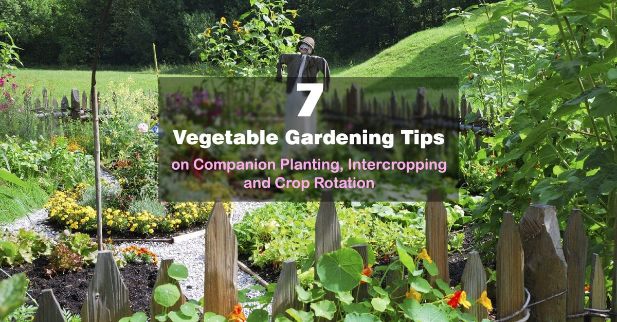 7 vegetable gardening tips on companion planting for Garden planting designs