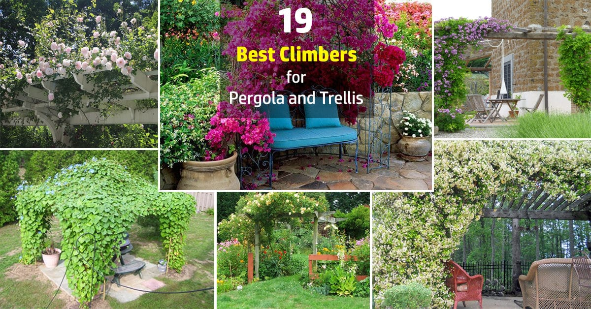 19 best pergola plants climbing plants for pergolas and for Best garden plants