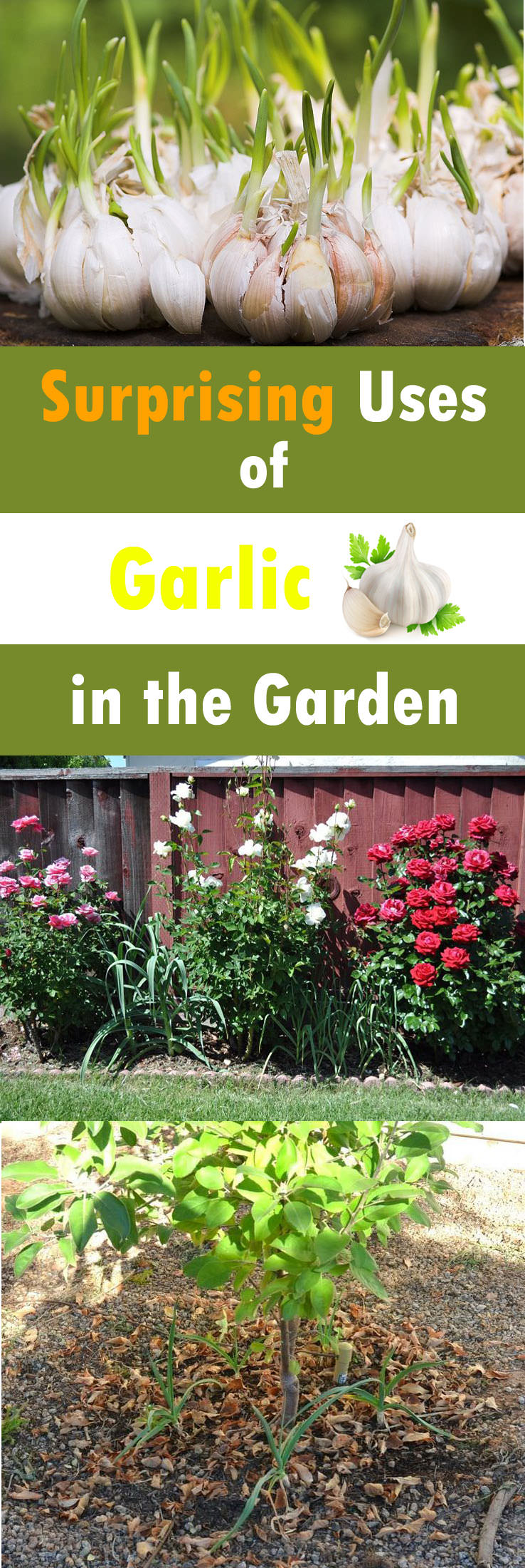 garlic as pectiside Liquefy fresh onions and garlic in a blender, or just use garlic and onion powder steeped with water to make an onion-garlic tea that can be sprayed onto plants or outdoor surfaces where you .