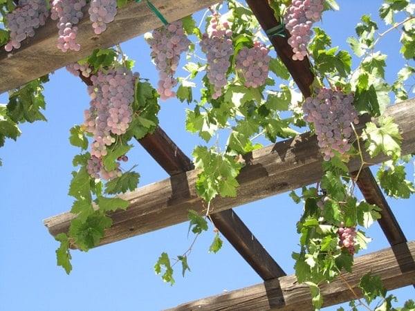 Truly one of the best climbing plants for pergolas, grape vine will not  only give shade and a warm sitting place but juicy grapefruits too. - 19 Best Pergola Plants Climbing Plants For Pergolas And Arbors