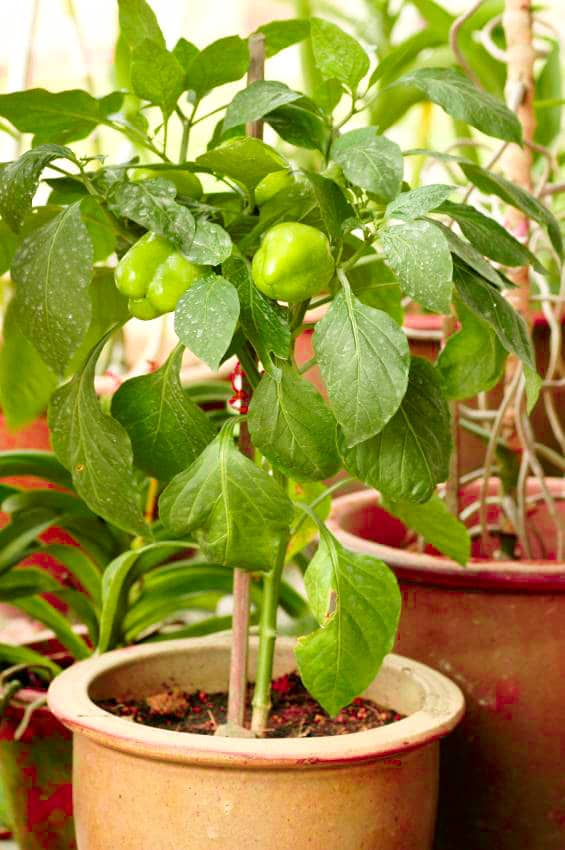 Pepper Plant Images Galleries With A