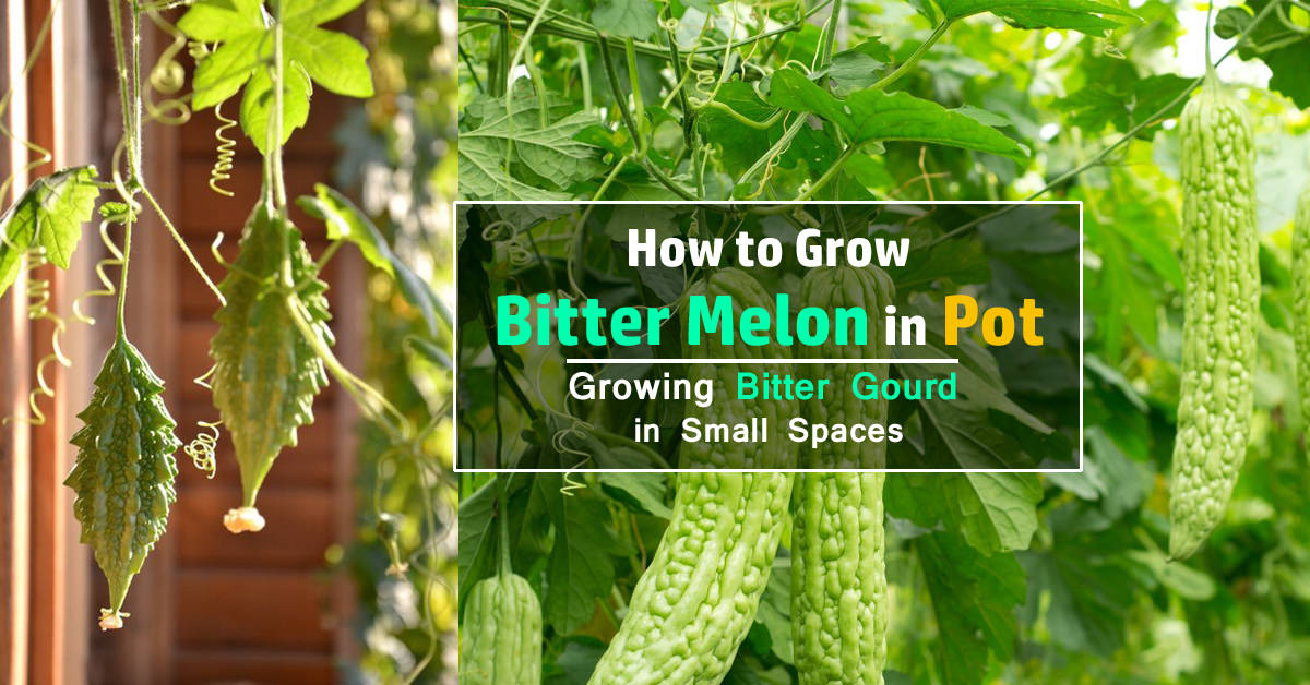 How To Grow Bitter Melon Growing Bitter Gourd In Pots