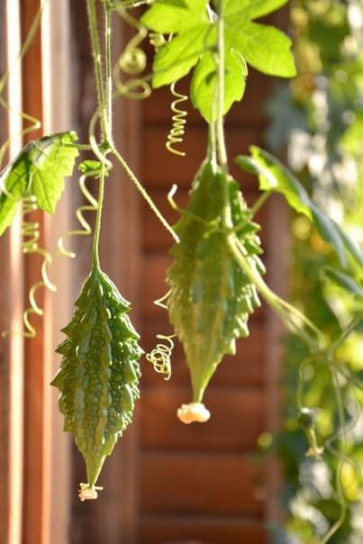 How to Grow Bitter Melon | Growing Bitter Gourd in Pots | Balcony ...