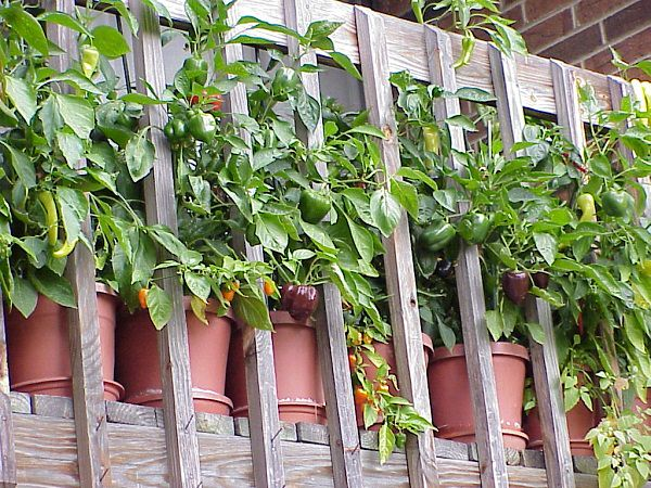 Container Vegetable Gardening. After Tomatoes, Peppers And Chilies Are  Easiest To Grow In Containers And They Are Most Productive Too.