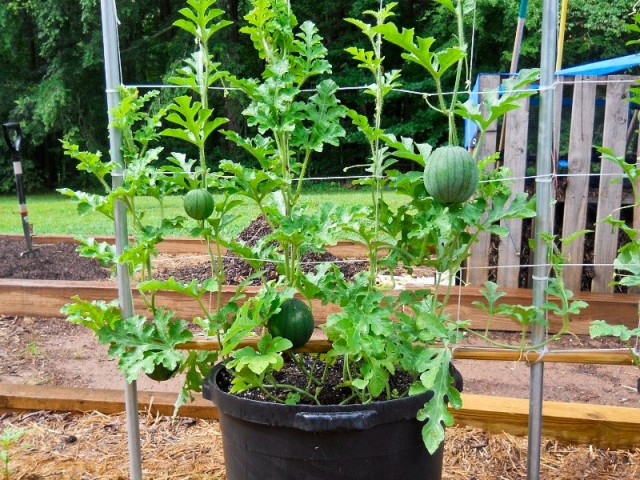 Grow A Garden In Pots Growing watermelon in containers how to grow watermelon in pot learn how to grow watermelon in pots growing watermelon in containers allows this big sweet and juicy fruit to grow in smallest of spaces workwithnaturefo