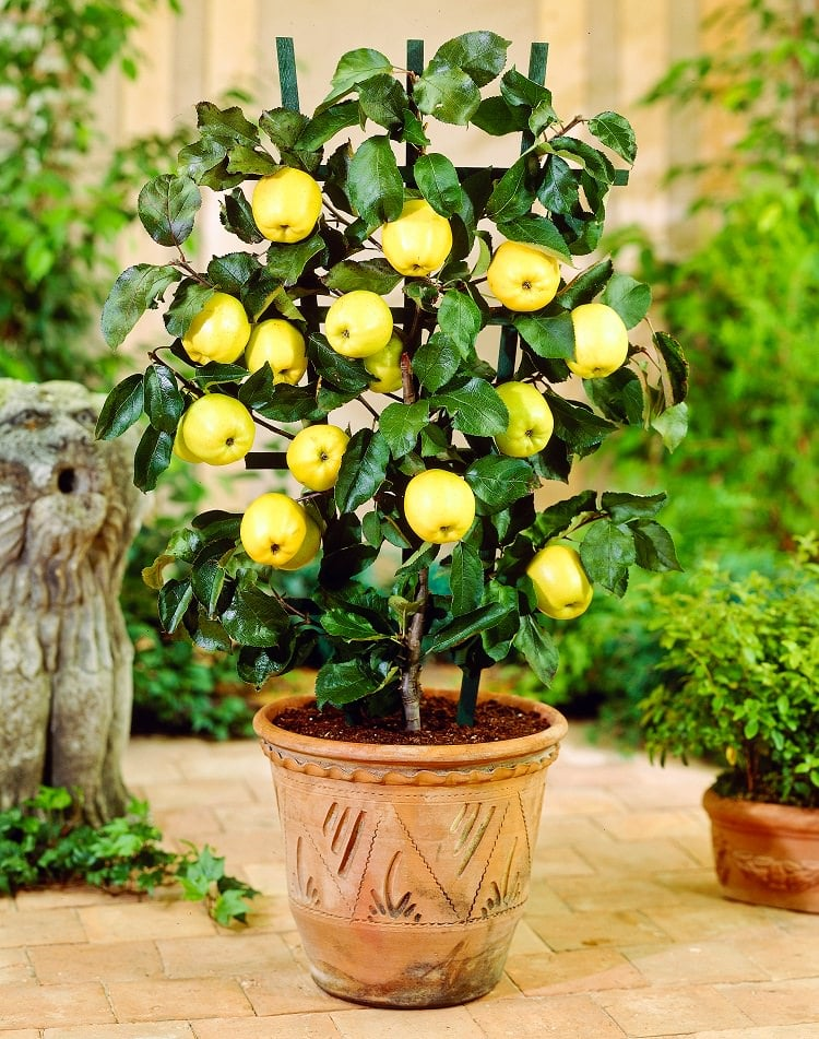 growing apple trees in pots  how to grow apple tree in a, Natural flower