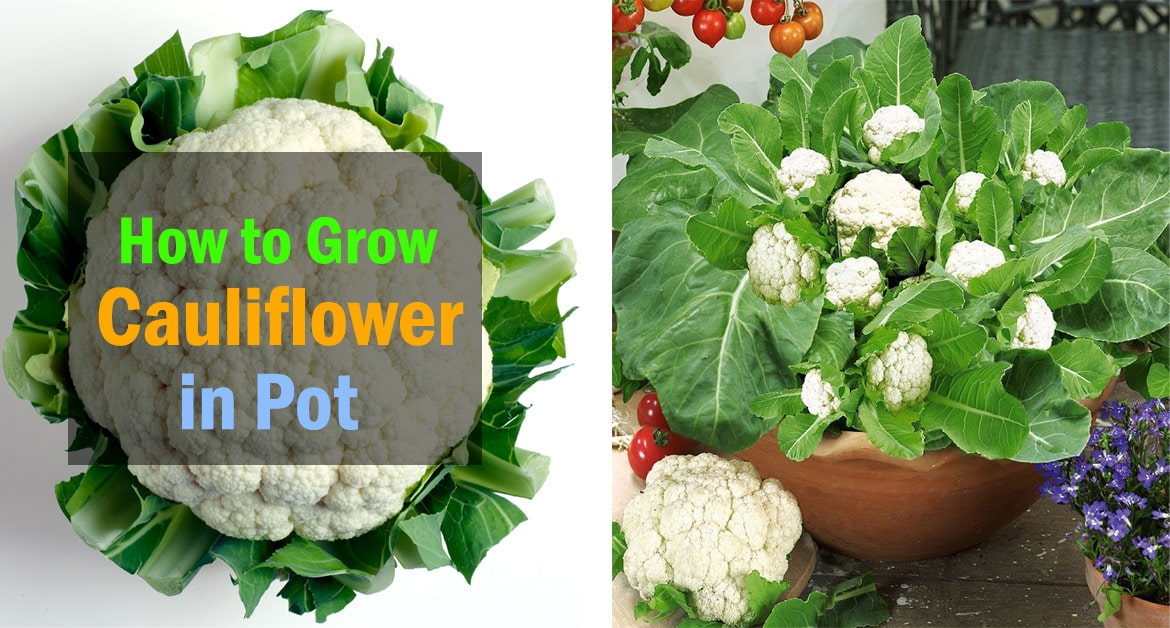 Growing Cauliflower in Containers   Care   How to Grow Cauliflower in  Containers   Balcony Garden Web. Growing Cauliflower in Containers   Care   How to Grow Cauliflower