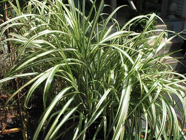 14 cold hardy tropical plants to create a tropical garden for Japanese grass