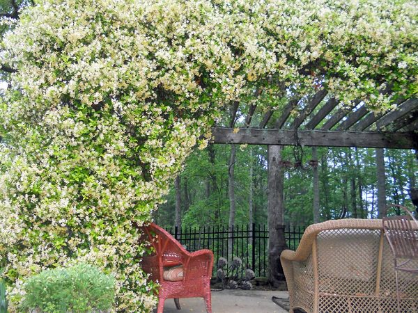 Its fragrance can be smelt from far-far away. So if you love fragrant plants,  grow it. In warm and humid climates jasmine blooms year round. - 19 Best Pergola Plants Climbing Plants For Pergolas And Arbors