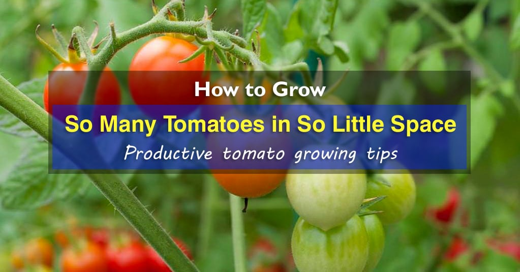 How To Grow So Many Tomatoes In So Little Space Best Way