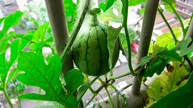 Growing Watermelon in Containers | How to Grow Watermelon in Pot ...