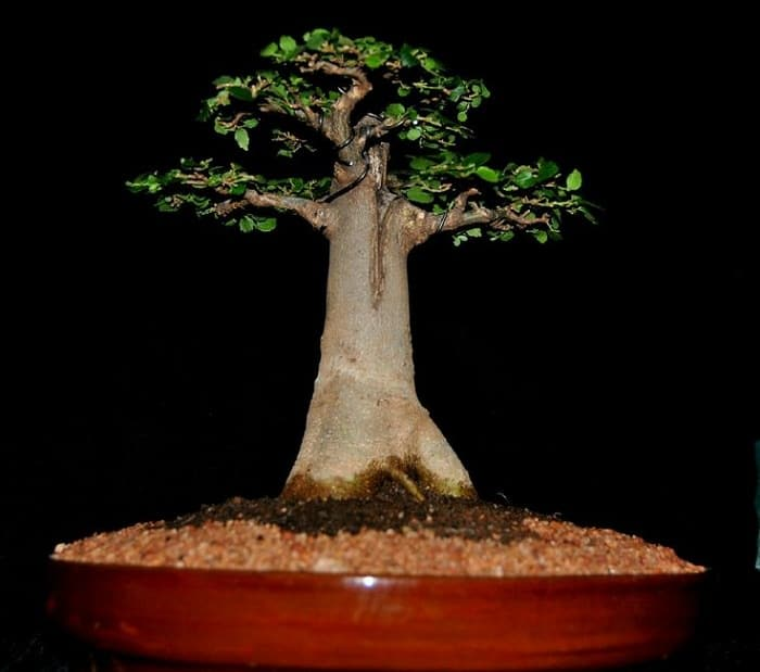 how to look after a bonsai ligustrum tree