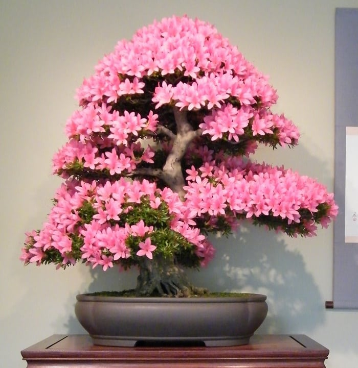 unbelievable house plant with green and pink leaves. Azalea is a must have Bonsai and looks unbelievably stunning  It popular for its growth habit bountiful blooms that come in many different colors 22 Best Trees For Plants Balcony Garden Web