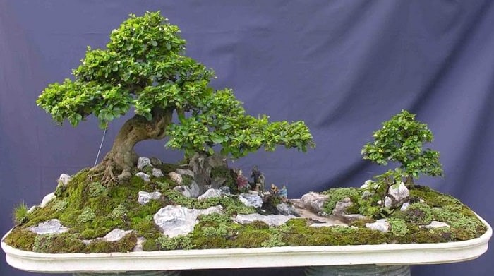 22 best trees for bonsai best bonsai plants balcony garden web one of the best plants fukien tea is a great addition to any bonsai collection that makes great small indoor bonsai its small dark green shiny leaves have mightylinksfo