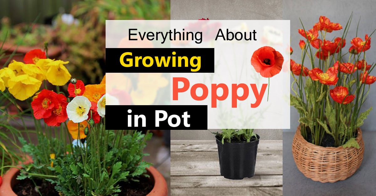 Growing Poppies In Pots | Care & How To Grow Poppies In Containers | Balcony Garden Web