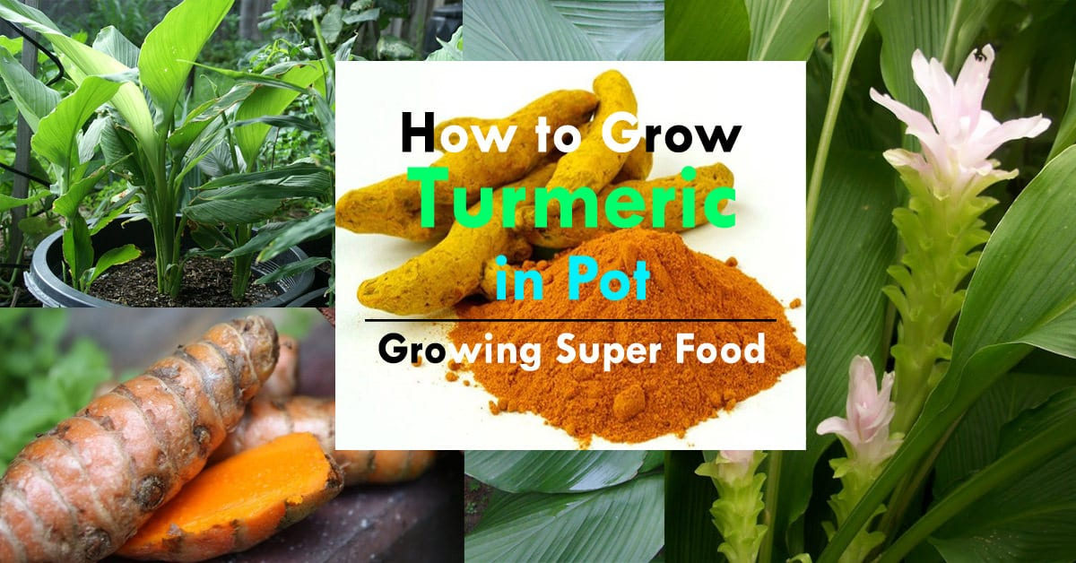 Growing Turmeric In Pots How To Grow Turmeric Care
