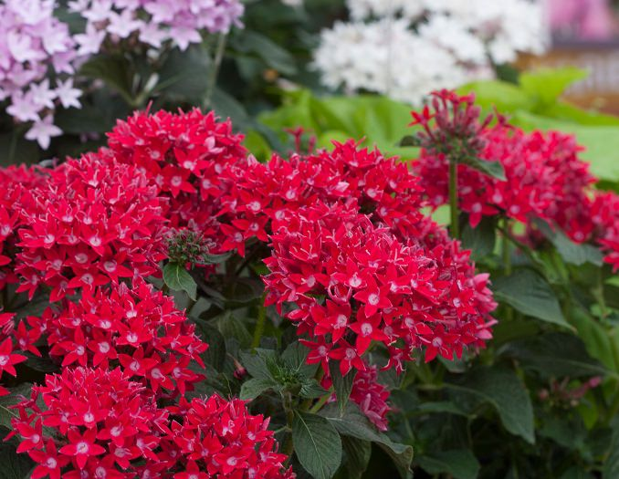 Pentas is a tough heat tolerant plant that you can grow in containers This tropical flower can be