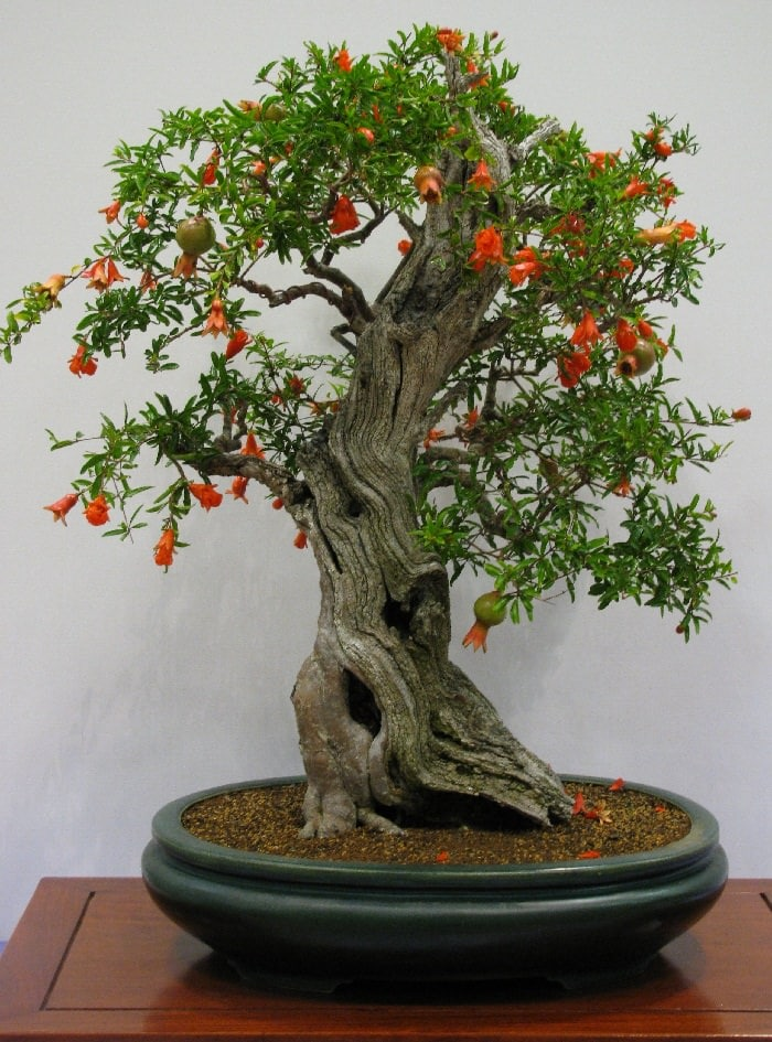 22 best trees for bonsai best bonsai plants balcony for Arboles con flores para jardin