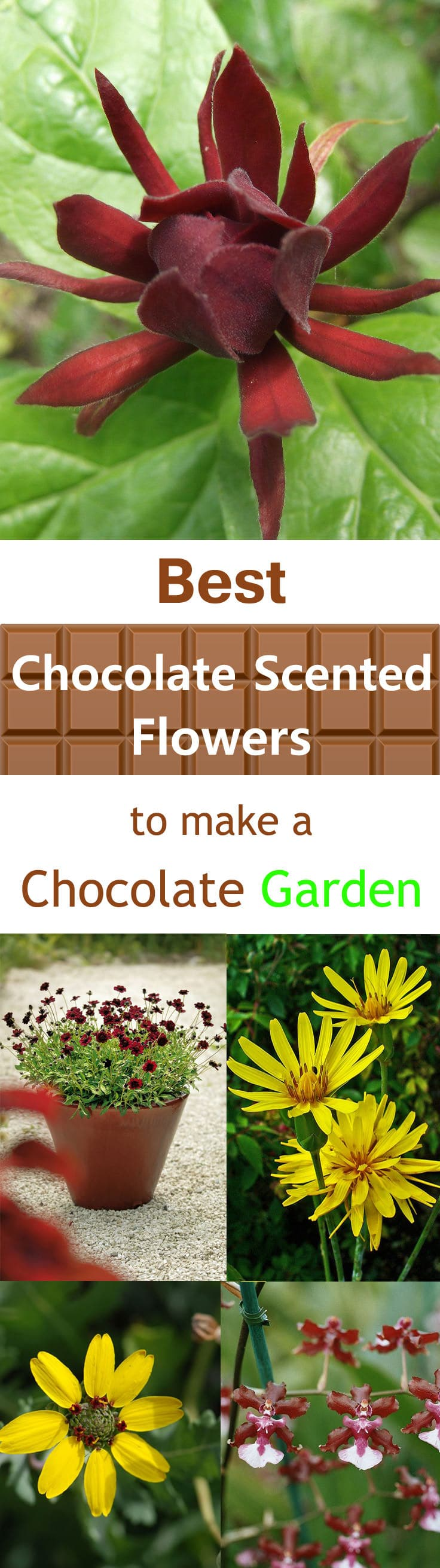 Best Chocolate Scented Flowers Plants And Flowers That Smell Like