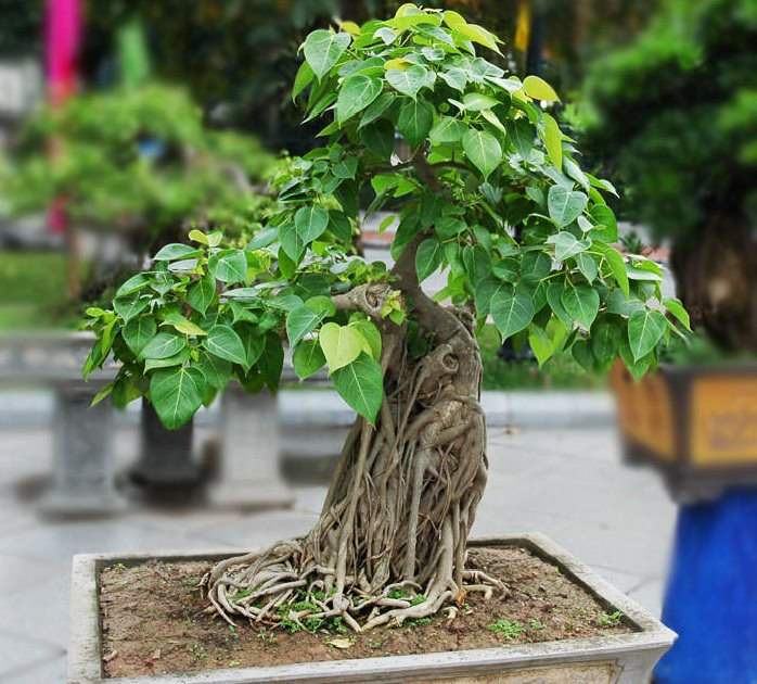 22 best trees for bonsai best bonsai plants balcony garden web due to this it is commonly known as sacred fig peepal tree and bo tree it makes an excellent bonsai mightylinksfo