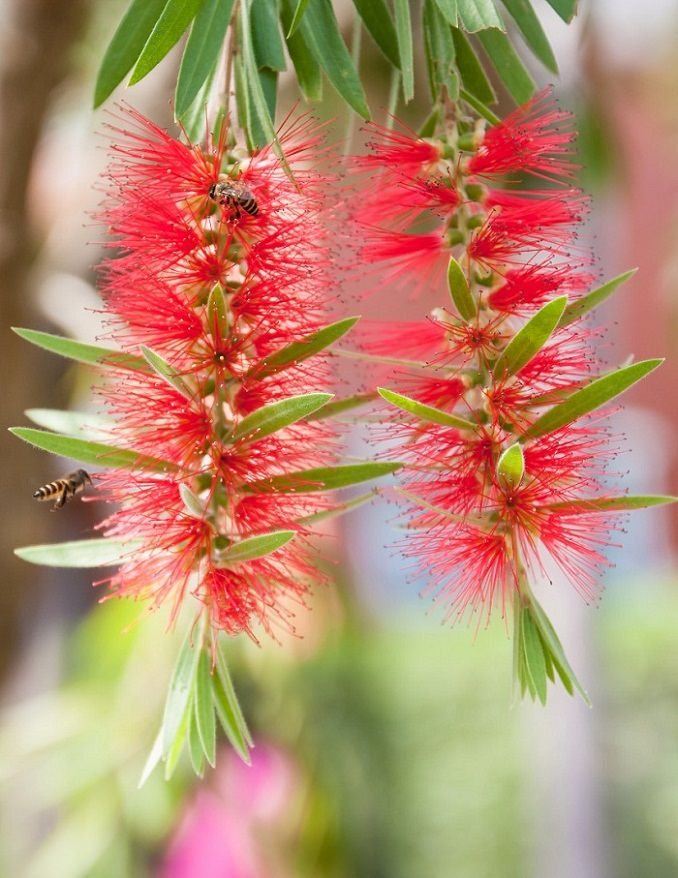 With its brush like puffy flowers that appear throughout the year bottlebrush is without a doubt one of the best large flowering shrubs