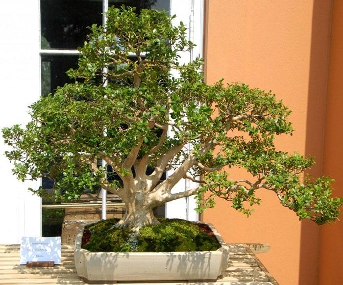 Planting Under Elm Trees : Best trees for bonsai plants balcony garden web