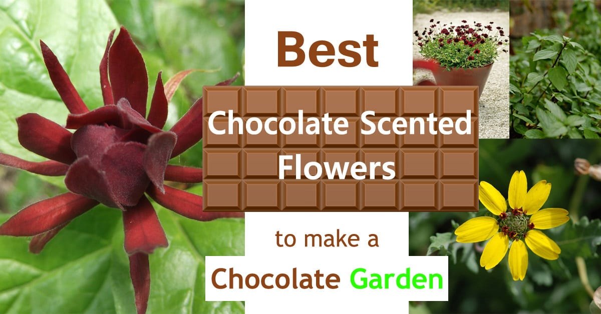 Best Chocolate Scented Flowers | Plants And Flowers That Smell Like Flower  | Balcony Garden Web