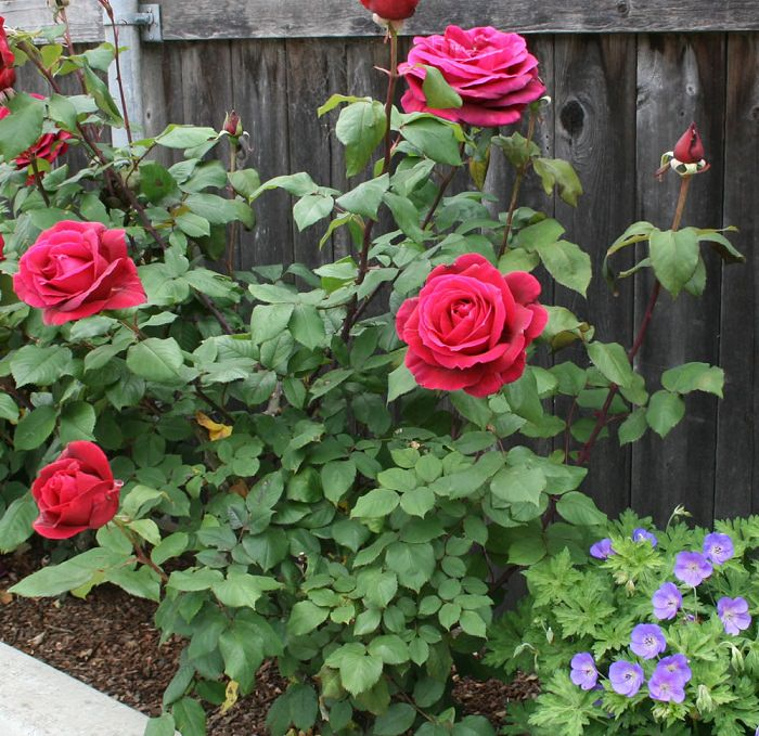 Adding Epsom Salt Helps In The Production Of Chlorophyll, Which Favors The  Bushier Growth Of The Roses. Also, Its Addition Encourages More Blooms.