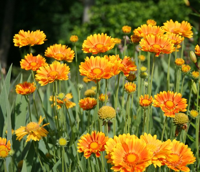 22 best flowers for full sun heat tolerant flowers for