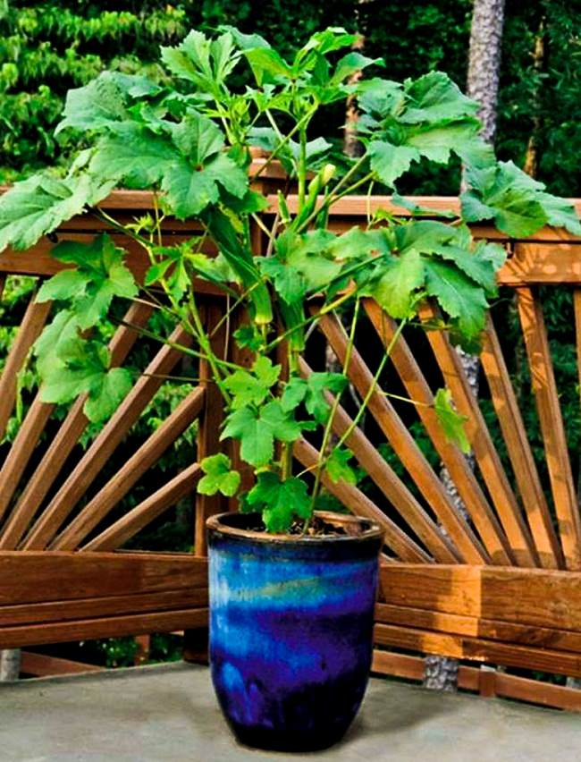 Planting A Garden In Pots Growing okra in pots how to grow okra in containers balcony growing okra in pots workwithnaturefo