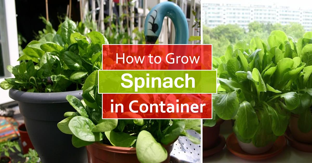 How To Grow Spinach In Pots | Growing Spinach In Containers U0026 Care |  Balcony Garden Web