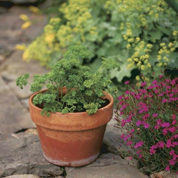 easy to grow herbs for new gardeners  balcony garden web, Natural flower