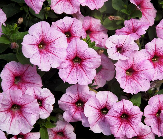 Petunias Seem To Love Sun And Heat They Are One The Most Beautiful Por Annual Flowers However This Frost Tender Plant Is Perennial In Warmer