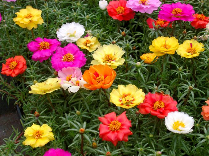 Amazing needle like foliage and bright and colorful small flowers the portulacas worth a place in your container garden in hanging baskets or window boxes