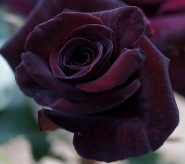 20 black flowers and plants to add drama to your garden