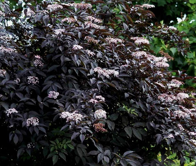 20 black flowers and plants to add drama to your garden balcony another excellent choice within our list of black flowers and plants is sambucus nigra gerda valued for its purple black foliage pink flowers mightylinksfo