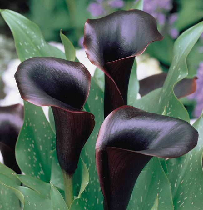Lovely One Of The Most Decorative Flowers The U0027Black Staru0027 Bloom Is Deep Purple  With A Spathe That Is Almost Black, It Looks Attractive In Combination With  Light ... Design