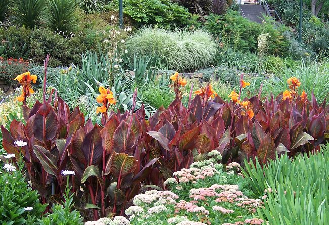 Bring A Tropical Touch With This Plant To Your Garden Its Bright Flowers And Dark Bronze Chocolate Color Large Foliage It Can Great Impact