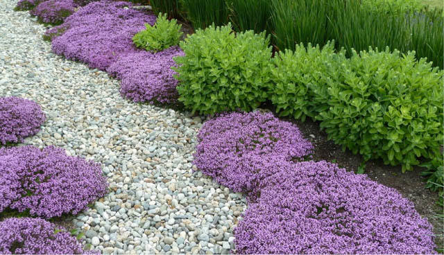 Thymus Serpyllum Is A Low Growing Aromatic Flowering Herb That Perennial And Hardy In Usda Zones 4 9 Just Like Other Thyme Varieties It Edible Too