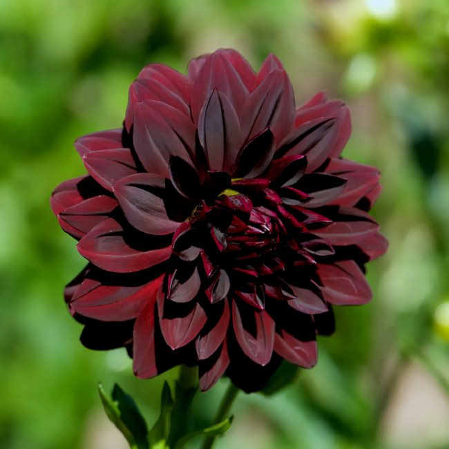 20 black flowers and plants to add drama to your garden for Flowers that look like dahlias