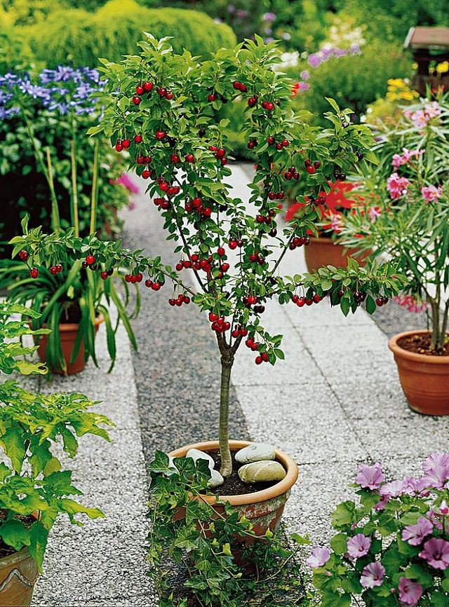 best fruits to grow in pots  fruits for containers  balcony, Natural flower
