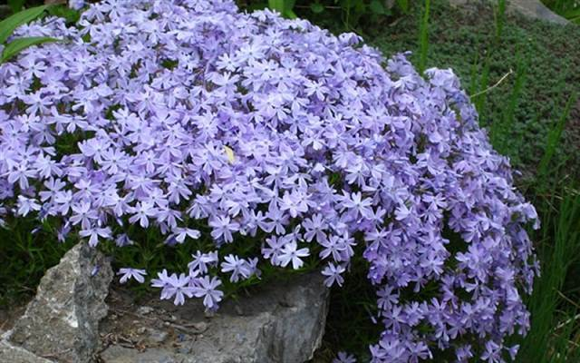 18 best flowering ground cover plants balcony garden web this ground cover has pleasant flowers that appear in pastel hues growing this sturdy low maintenance plant is possible in usda zones 3 8 it is the plant mightylinksfo