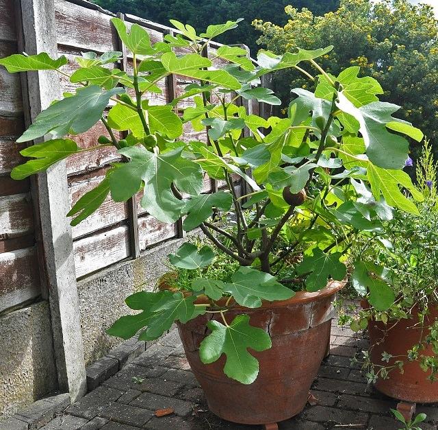 Best Fruits To Grow In Pots