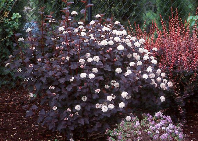 20 black flowers and plants to add drama to your garden balcony a versatile and appealing shrub with white flowers and deep burgundy foliage that looks black in shade or in dark it is easy to grow and tolerates a wide mightylinksfo