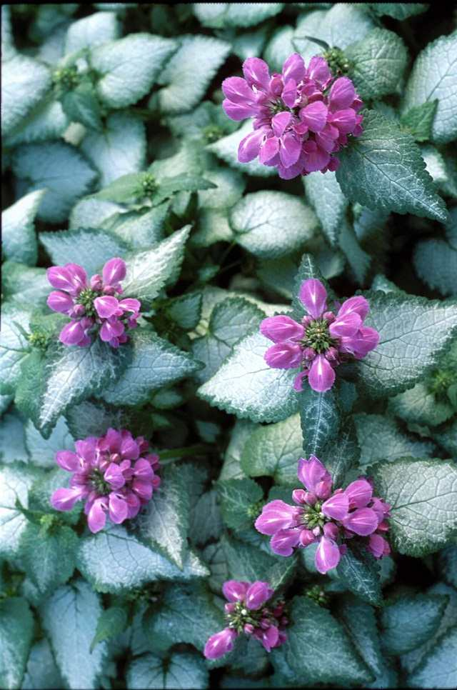 Dead Nettle Lamium Maculatum Is Notable For Both Its Variegated Foliage And Dense Cers Of Flowers Which Ear In A Variety Colors