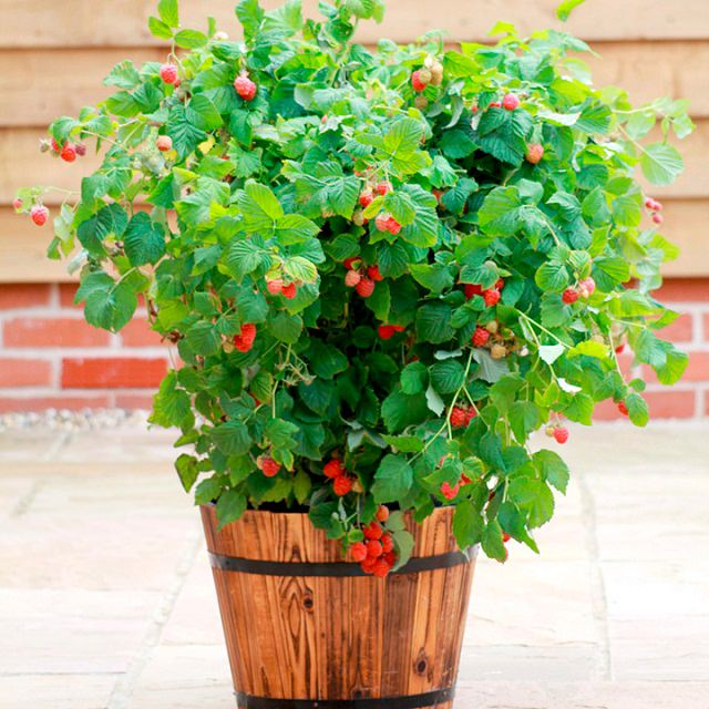 Best fruits to grow in pots fruits for containers What are miniature plants grown in pots called