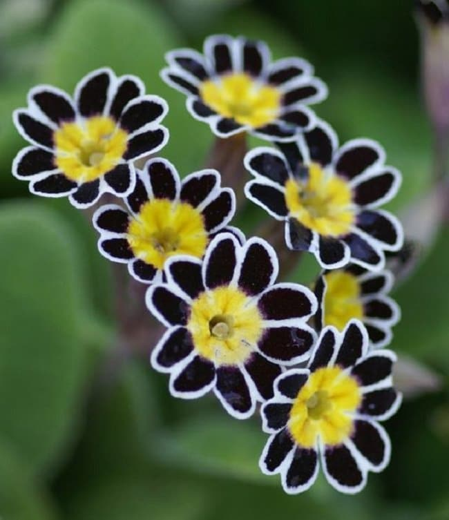 20 black flowers and plants to add drama to your garden balcony this gorgeous flower is one of the rarest and difficult to obtain primulas it produces flowers of black brown color with a scalloped silver edges and a mightylinksfo