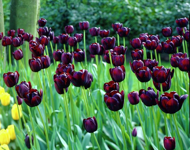 Beautiful And Dramatic, This Tremendous Closest To Black Flower Appears In  Deep Maroon Color In Spring. This Variety Can Be Mixed With White Or Pink  Tulips ... Great Ideas